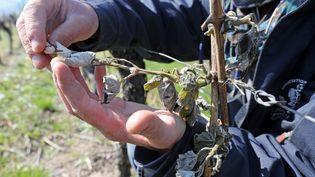 Un viticulteur alsacien montre les résultats de la gelée nocturne, le 20 avril 2017, à Sigolsheim (Haut-Rhin). (MAXPPP)