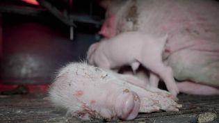 L'association L214 diffuse jeudi 19 août dénonçant des pratiques de maltraitante animale. Dans un élevage intensif de porc de l'Yonne, les truies sont frappées à coup de tournevis et de barre de fer, et les porcelets indésirables claqués au sol.  (CAPTURE D'ÉCRAN FRANCE 3)