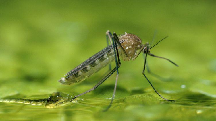 Le moustique est avant tout une source de nuisance dont certaines piqûres peuvent être douloureuses. (GEORGE BERNARD / MAXPPP)