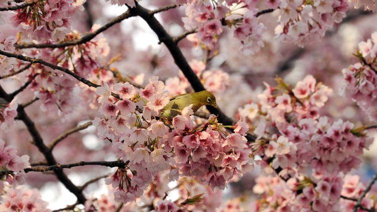 Un cerisier du Japon dans un parc de Tokyo, le 25 mars 2014. (YOSHIKAZU TSUNO / AFP)