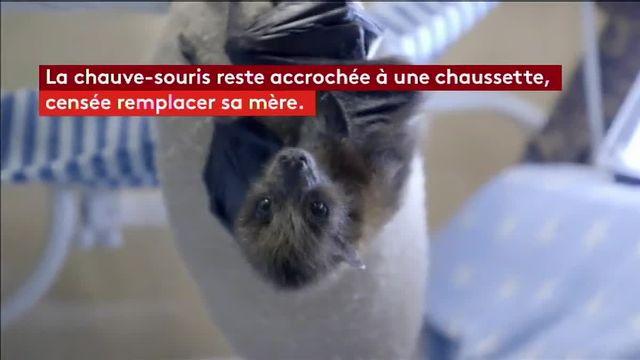 Etats-Unis : un bébé chauve-souris sauvé en Californie