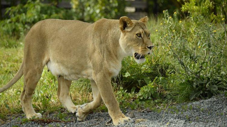 Lionne au parc zoologique de Paris (illustration). (BERTRAND GUAY / AFP)