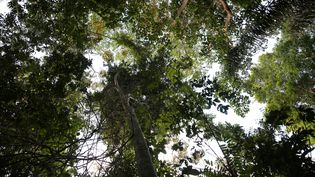 Une forêt dans la commune de Matoury (Guyane),le 24 août 2019. (TIPHAINE HONORE / AFP)
