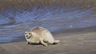 Tourisme : le retour des phoques sur la Côte d'Opale (France 2)