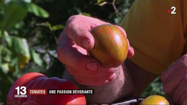 Tomate : un collectionneur en cultive 4 000 variétés dans son jardin