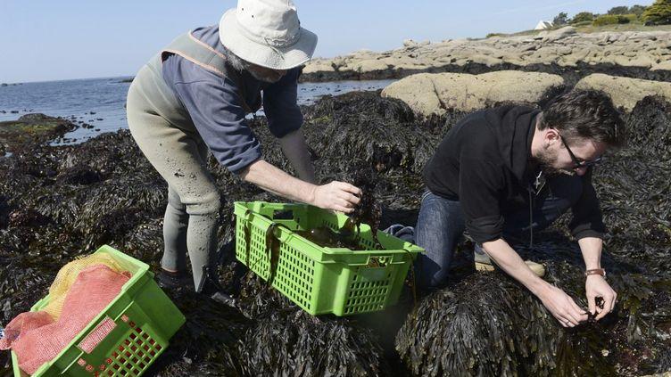 Récolte d'algues en Bretagne. (FRED TANNEAU / AFP)