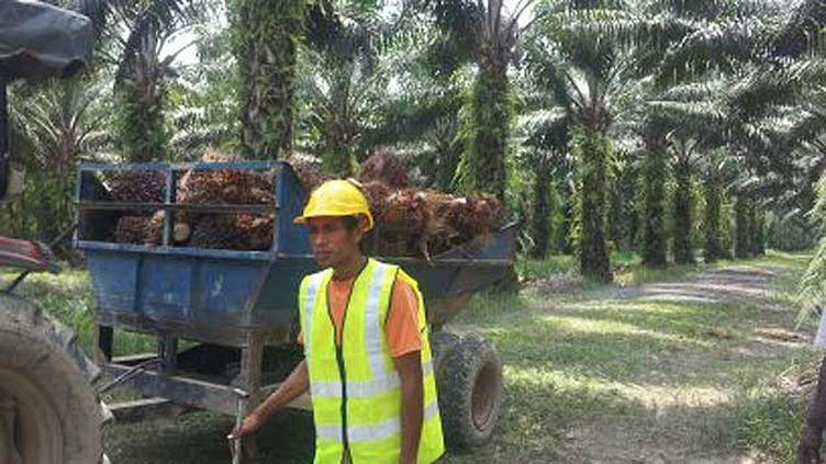 (Une plantation d'huile de palme en Malaisie certifiée RSPO © Radio France / Anne-Laure Barral)