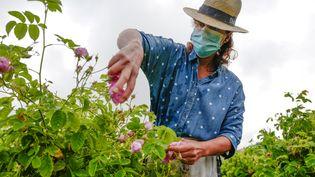 Récolter les roses de mai en fleurs sans pouvoir les sentir est frustrant pour les travailleurs. (VALERY HACHE / AFP)