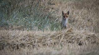 Un renard près de Chinon (Indre-et-Loire), en juillet 2020. (GUILLAUME SOUVANT / AFP)