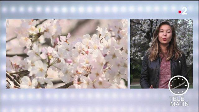 Japon : les cerisiers sont en fleurs