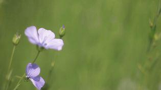 Les producteurs français de lin vont entamer leurs récoltes en ce mois de juillet, notamment en Normandie.La région fournit50%du marché mondial. (france 3)