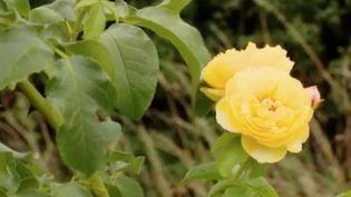 """C'est une grande première. Le titre prestigieux de la rose de l'année, décerné en Angleterre, le pays des jardins, revient à la rose française baptisée """"Château de Cheverny"""". (FRANCE 3)"""