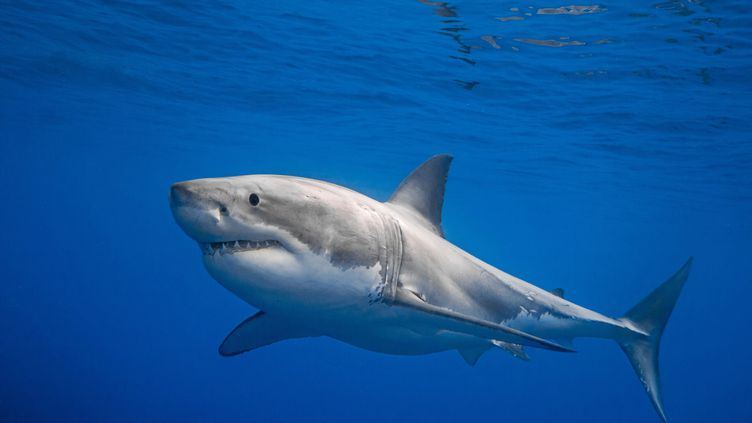 Un grand requin blanc au large du Mexique. Photo d'illustration. (CHRIS GILLETTE / MEDIADRUMWORLD.COM / MAXPPP)