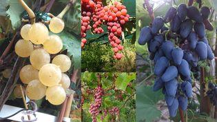 De gauche à droite : 'Noah', 'Katarine', 'Vanessa' et 'Cornichon violet'. Ces variétés sont très anciennes et jamais malades. (ISABELLE MORAND / SEBASTIEN TAN / RADIO FRANCE / FRANCE INFO)