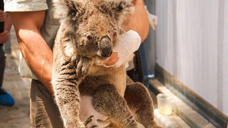 Un koala est mis à l'abri des flammes par le personnel du Zoo Taronga de Sydney,le 17 décembre 2019. Une douzaine de koalas ont été sauvés de la trajectoire des feux quiencerclent la capitale. (HANDOUT / TARONGA ZOO / AFP)