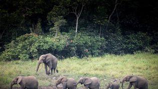 Un groupe d'éléphants traverse une clairière dans le parc national d'Ivindo. Le parc abrite les deux tiers des éléphants de forêt d'Afrique. (AMAURY HAUCHARD / AFP)