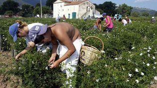 Cueillette de jasmins à Grasse, dans les Alpes-Maritimes. (PASCAL GUYOT / AFP)