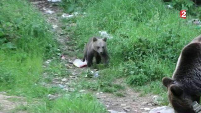 Roumanie : quand les ours arrivent en ville