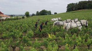 Agriculture : le cheval de trait creuse son sillon dans les vignes (France 2)