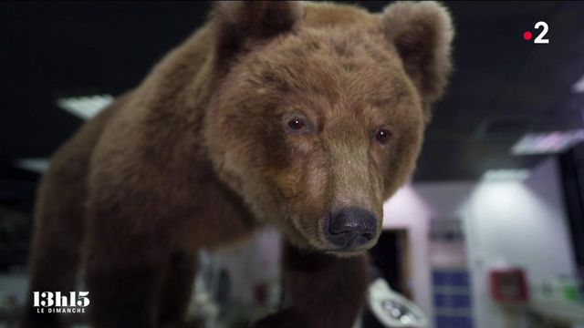 VIDEO. Pourquoi des taxidermistes du muséum de Toulouse ont redonné son aspect d'origine à l'ourse Cannelle tuée en 2004