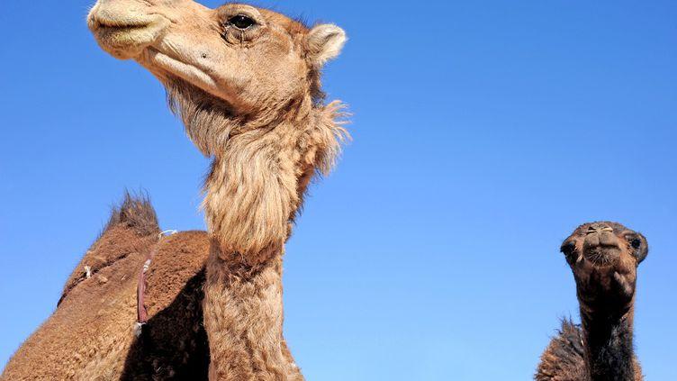 Des dromadaires dans le désert marocain. (PATRICE THEBAULT / ONLY WORLD/AFP)