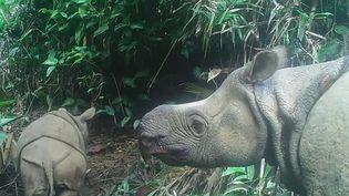 Cette image, tirée d'une vidéo du 22 mai 2020, montre un bébé rhinocéros mâle de Java nommé Luther (gauche) dans le parc national d'Ujung Kulon, dans la province indonésienne de Banten. (HANDOUT / ENVIRONMENT AND FORESTRY MINISTRY / AFP)