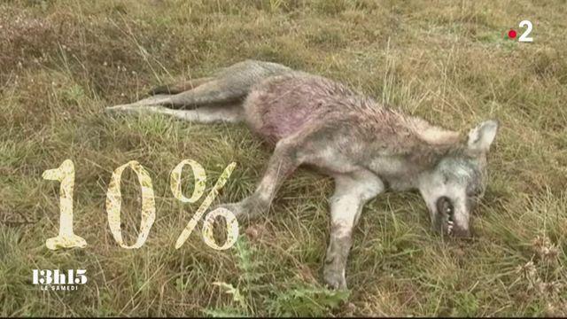 VIDEO. Tout le territoire français pourrait être colonisé par le loup dans les prochaines années