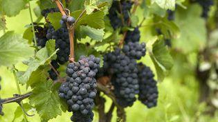"""Un arrêté préfectoral impose le traitement de """"l'ensemble des vignobles de la Côte d'Or"""". (GERAULT GREGORY / AFP)"""