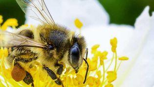 Dans le monde, trois cultures sur quatre qui produisent des fruits ou des semences destinés à l'alimentation humaine dépendent en partie des abeilles et d'autres pollinisateurs. (FAO / GREG BEALS)