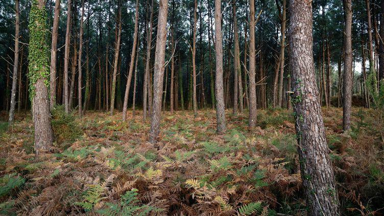 Une forêt à Seignosse, dans les Landes (illustration). (VINCENT ISORE / MAXPPP)