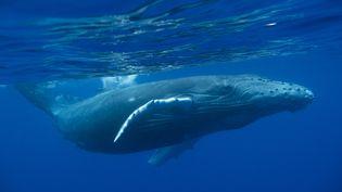 Une baleine à bosse photographiée près de l'île de la Réunion, le 30 novembre 2016. (MYRIAM DUPUIS / BIOSPHOTO / AFP)