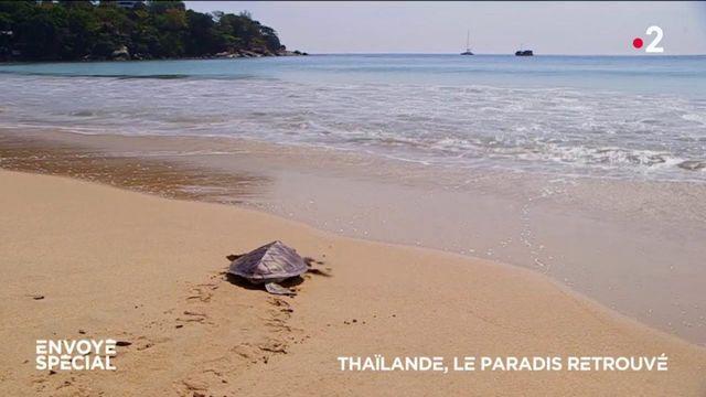 Envoyé spécial. Avec le Covid et l'absence des touristes, les tortues sont de retour sur les plages de Thaïlande