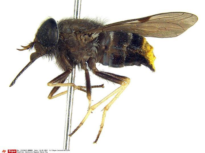 """Cette photo de la """"Scaptia beyonceae"""", une mouche parasite baptisée en l'honneur de la chanteuse Beyoncé, a été communiquée en 2009 par le chercheur Bryan Lessard. (BRYAN LESSARD / AP / SIPA)"""
