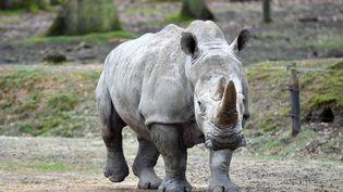 Un rhinocéros au zoo de Thoiry en mars 2017, là où le rhinocéros blanc de 4 ans, Vince, a été tué par des braconniers. (MUSTAFA YALCIN / ANADOLU AGENCY / AFP)