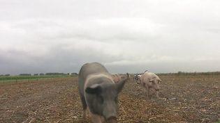 Pays-Bas : les cochons empêchent les collisions des avions avec les oiseaux. (FRANCE 3)
