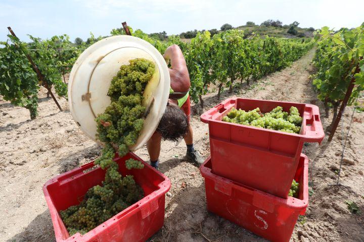 Les vendanges précoces dans un vignoble de Fitou (Aude), le 28 juillet 2020. (RAYMOND ROIG / AFP)