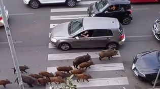 Italie : Rome, régulièrement envahie par des sangliers (France 3)