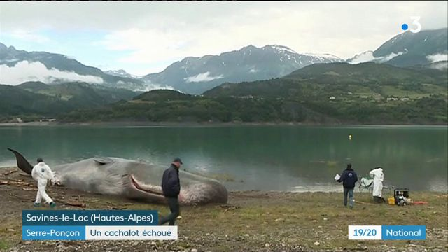 Serre-Ponçon : le mystère du cachalot échoué