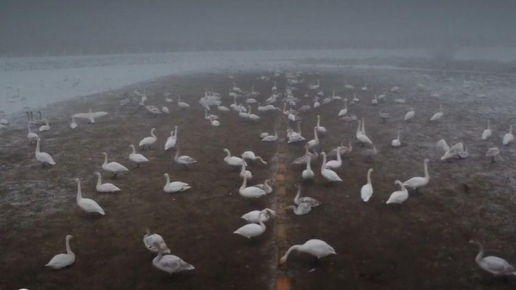En Chine, l'hiver très rude de cette année est peu hospitalier pour les cygnes venus de Sibérie passer la saison. Des hommes doivent les nourrir afin qu'ils subsistent. (FRANCEINFO)