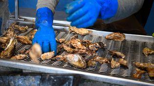 Un ostréiculteur sélectionne des huîtres à Cancale (Ille-et-Vilaine), le 29 novembre 2019. (DAMIEN MEYER / AFP)