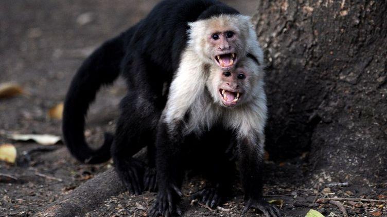 Les capucins moines ne fêtent pas la Saint-Valentin. Nous non plus, àFTVi. (YURI CORTEZ / AFP)