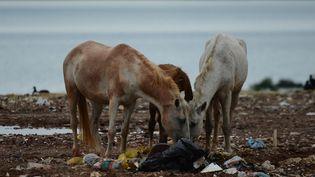 Des chevaux mangent des ordures dans la décharge de Gramacho, près de Rio (Brésil), le 15 mai 2012. (CHRISTOPHE SIMON / AFP)