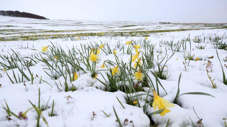 Des fleurs émergent de la neige sur le plateau de l'Aubrac (Lozère), le 1er mai 2017. (MOIRENC CAMILLE / HEMIS.FR / AFP)