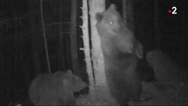 Ours dans les Pyrénées : les élus les jugent trop nombreux dans la région