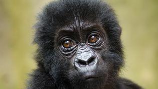 Un petit gorille de Grauer (ou gorille des plaines orientales), au Parc national des Virunga, en République démocratique du Congo, le 15 septembre 2012. (LUANNE CADD / VIRUNGA NATIONAL PARK / AFP)