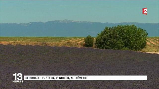 Provence : L'heure est à la récolte de la lavande