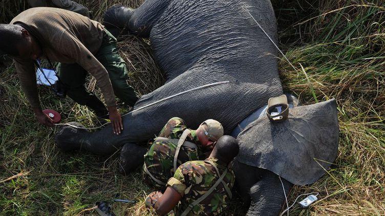 Un éléphant équipé d'un système de positionnement géographique. Le collier GPS qu'il porte permet de suivre ses déplacements dans l'immense parc national de la Garamba. (Photo AFP/Tony Karumba)