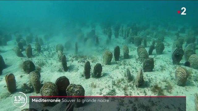 Méditerranée : la grande nacre est en voie d'extinction