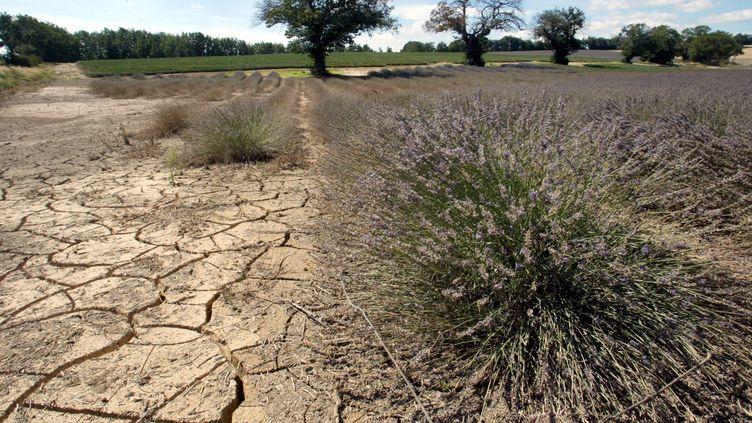 Des champs de lavande brûlés par la sécheresse en Provence, pendant l'été 2006. (MAXPPP)