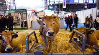 Une vache Mirandaise au Salon de l'agriculture, le 26 février 2015, à Paris. (LOIC VENANCE / AFP)